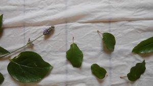 Préparation de la végétation pour un Eco-print